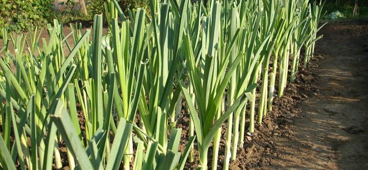 как выращивать лук-порей из семян