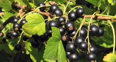 черная смородина уход и выращивание