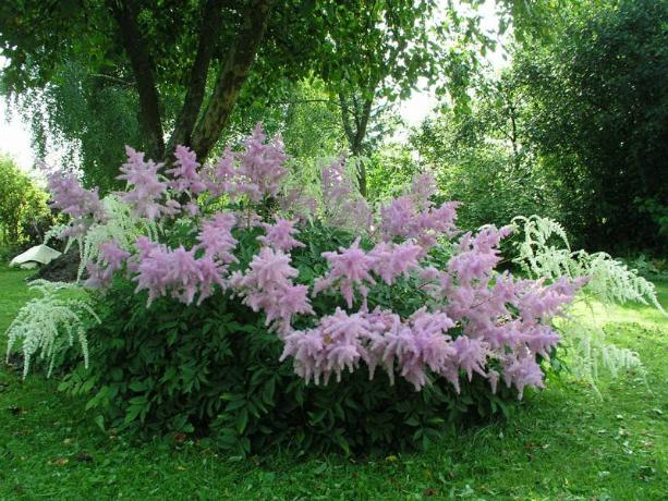 Как выглядит цветок астильба
