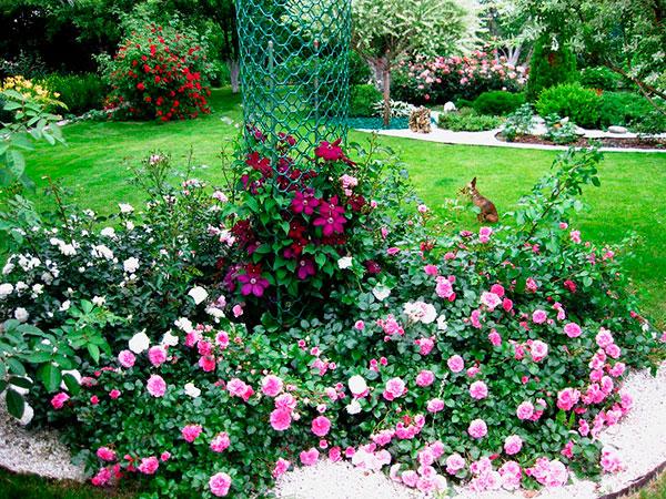 Почвопокровные розы в дизайне участка