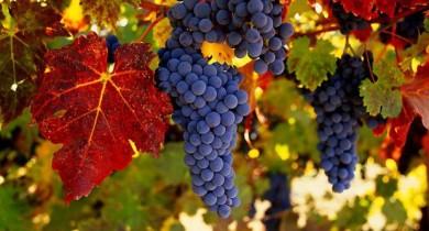 виноград посадка и уход в открытом грунте