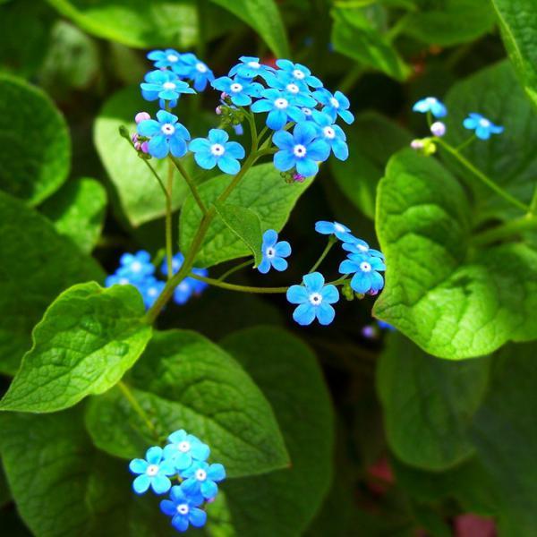 Брунера цветок фото