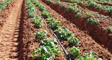 картофель посадка и уход в открытом грунте
