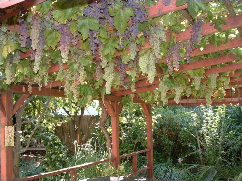 Шпалера для девичий виноград своими руками