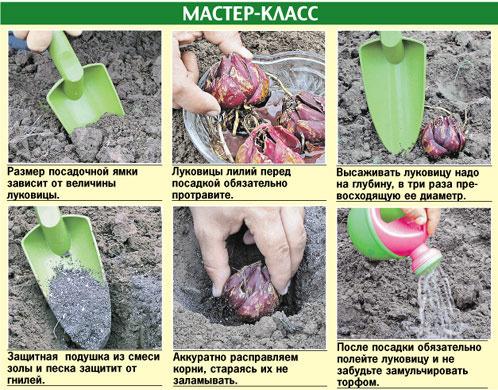 Как правильно садить лук в домашних условиях