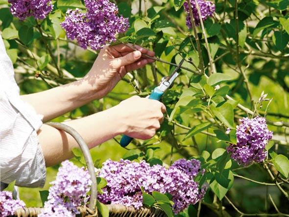 Сирень выращивание и уход 39