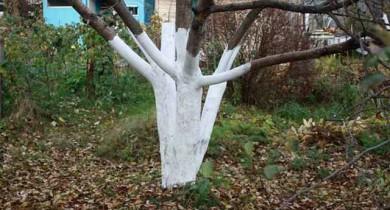 как ухаживать за яблоней осенью чтобы был хороший урожай