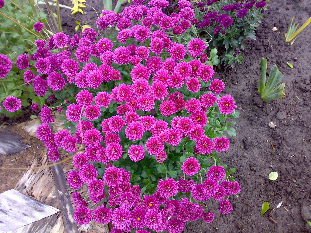 Астра агротехника выращивания 73