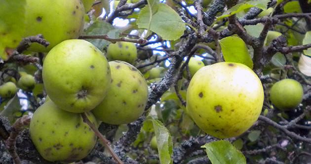 парша яблони и груши меры борьбы