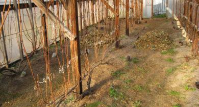 как укрыть виноград на зиму в средней полосе видео