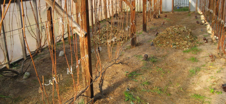 Как укрывать виноград на зиму видео