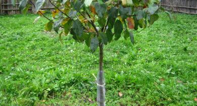 как укрыть колоновидную яблоню на зиму