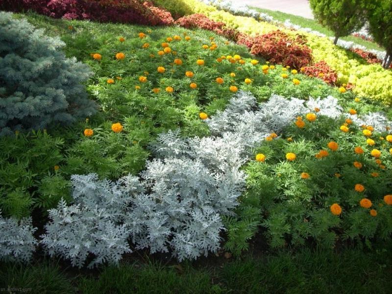 Цинерария серебристая с какими цветами сочетается