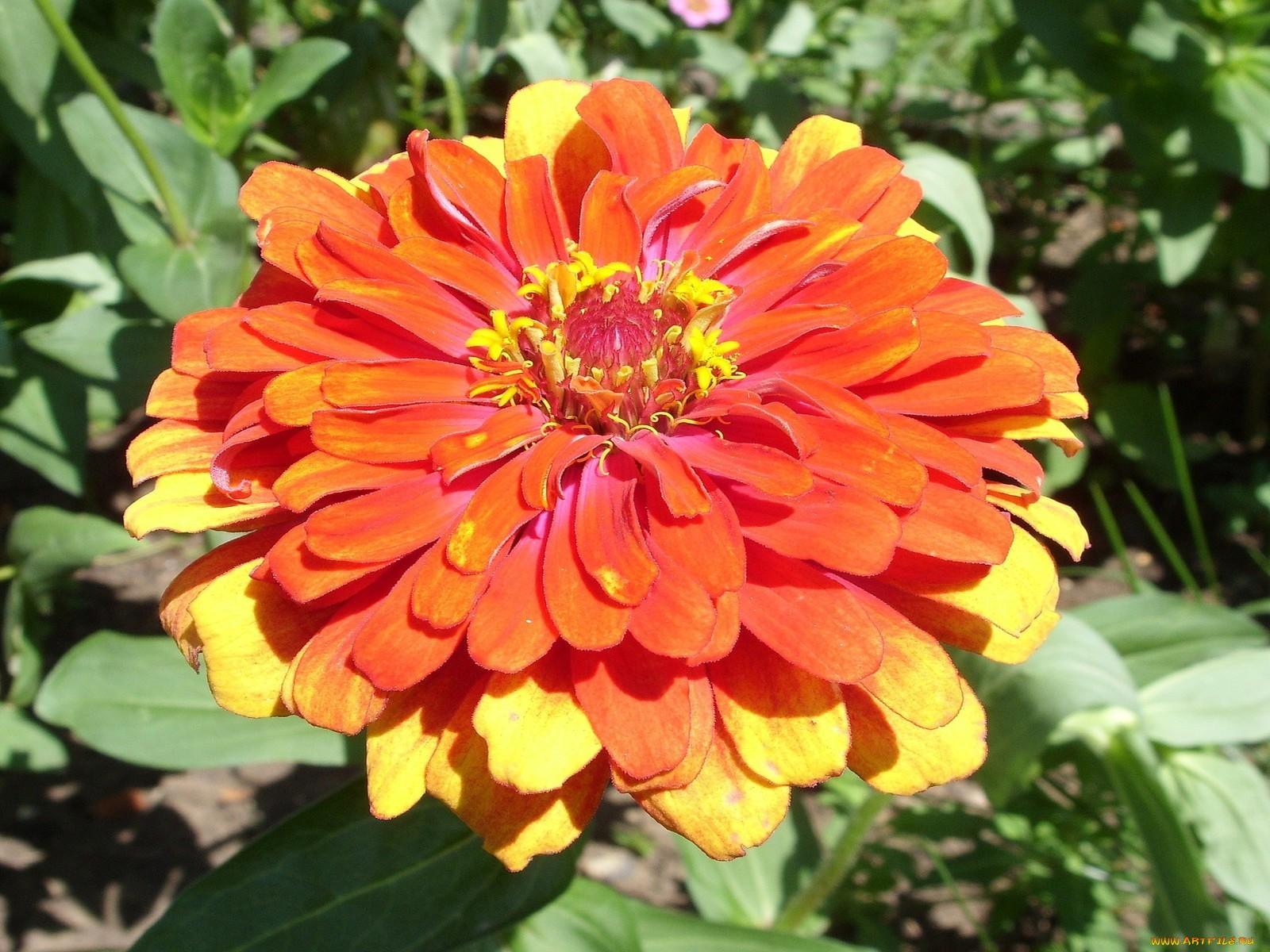 Цініі фото квіти