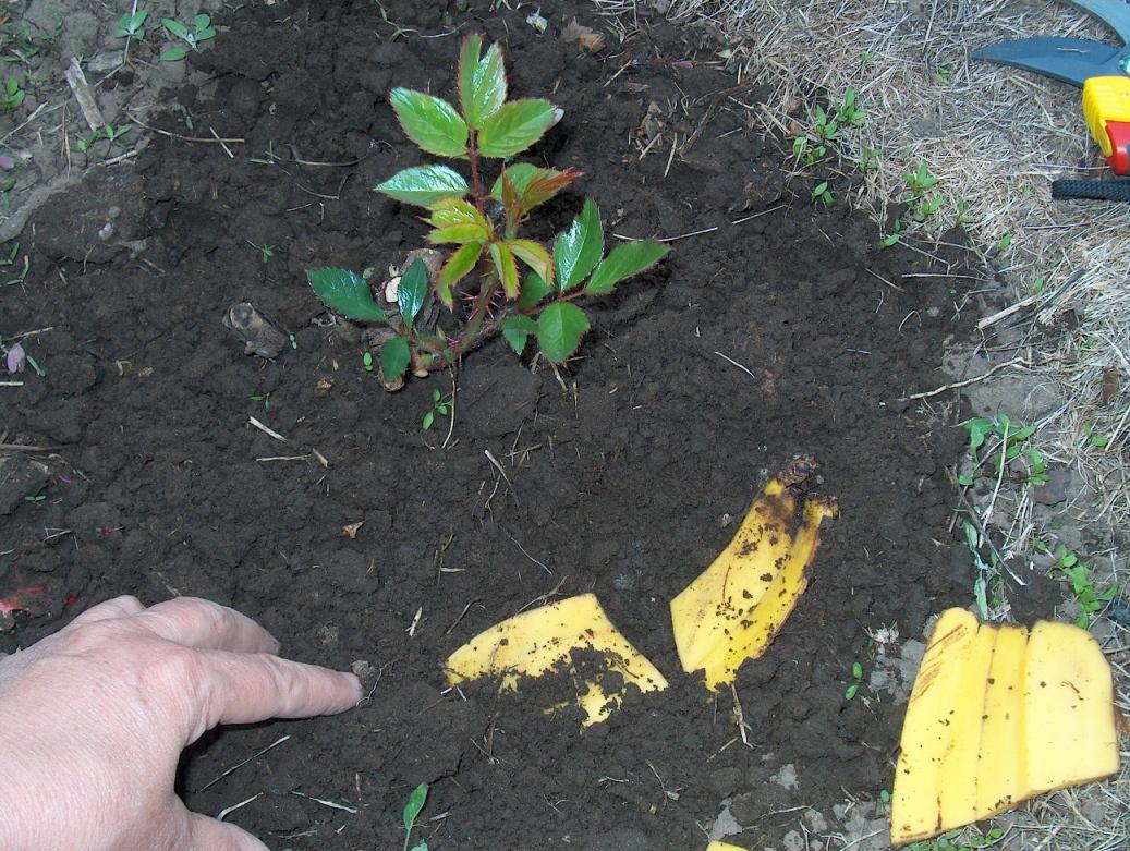 Удобрение для комнатных цветов из банановых корок