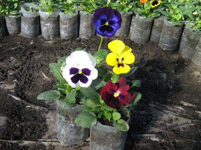Виола цветов рассада когда сажать