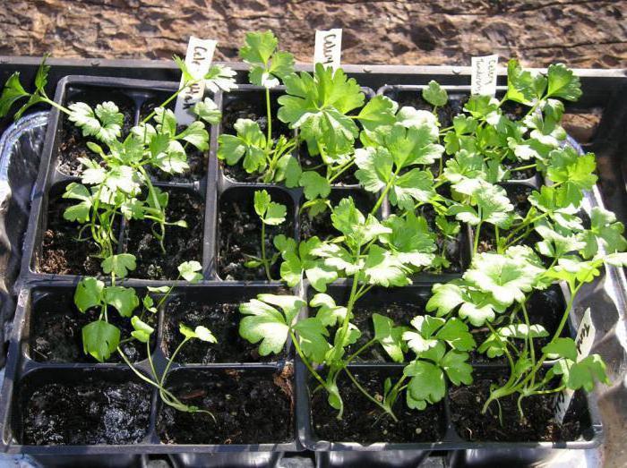Сельдерей черешковый в сибири выращивание и уход 2
