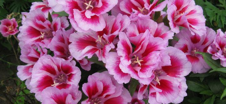 годеция крупноцветковая выращивание из семян