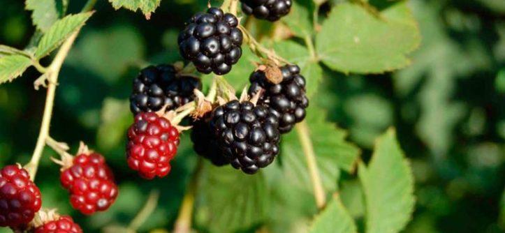 плодовые кустарники для сада и огорода многолетники фото с названиями