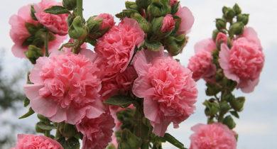 шток роза посадка и уход в открытом грунте