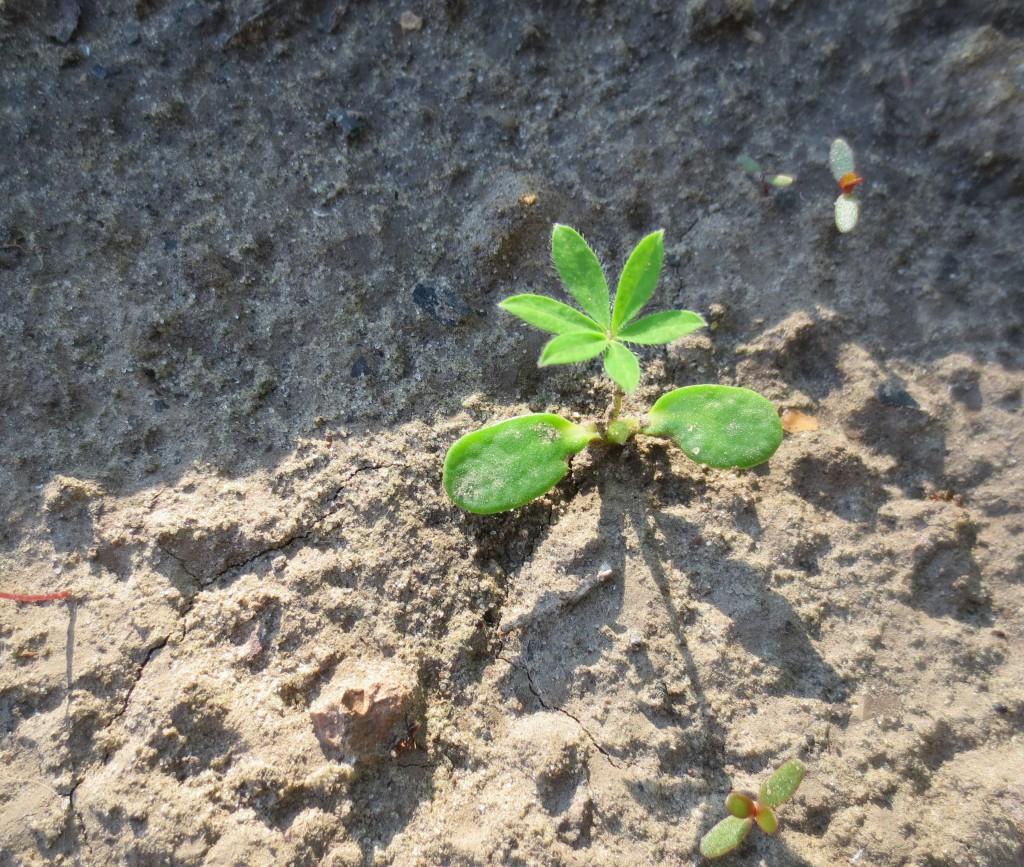 Выращивание люпинов из семян фото