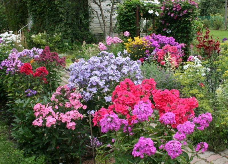 Цветы флоксы посадка и уход
