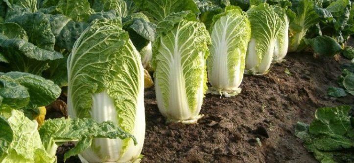 как посадить пекинскую капусту в грунт
