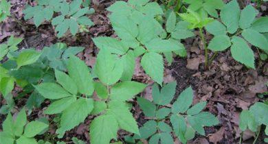 сорные растения фото и название