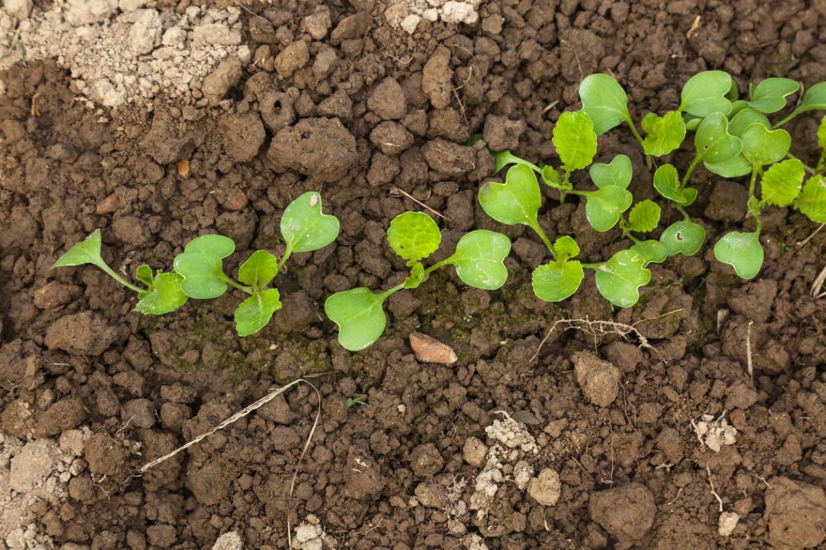 Когда сажать в грунт рассаду капусты 83