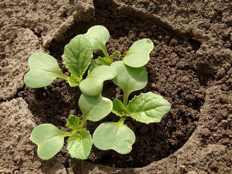 семян брокколи домашних из выращивание условиях фото в