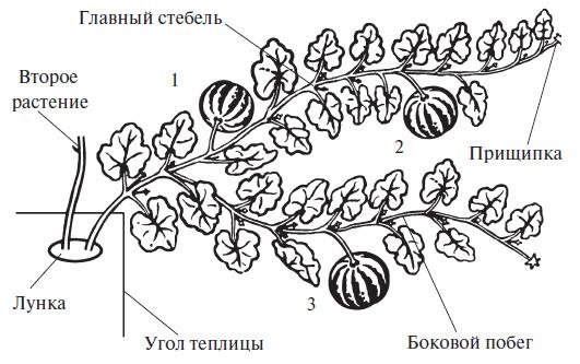 Выращивание тыквы прищипывание