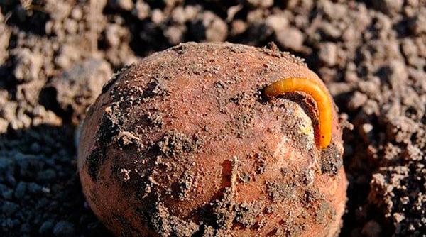 как избавиться от проволочника в огороде навсегда