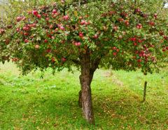 сорта яблок список по алфавиту