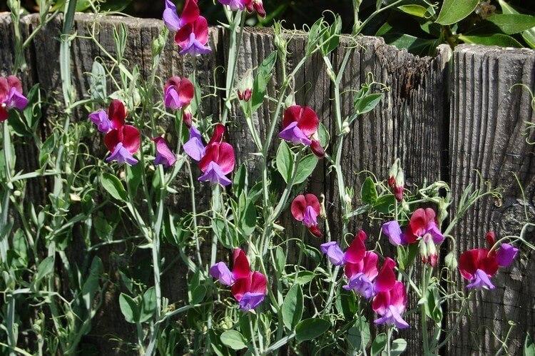 Цветной горошек выращивание 91