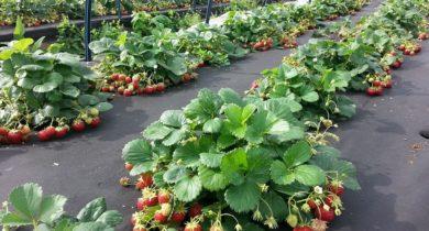 посадка земляники семенами на рассаду сроки