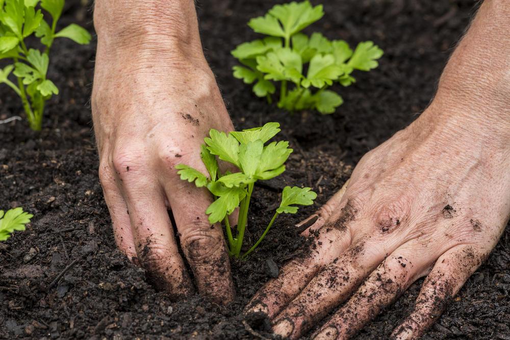 Как сажать семена сельдерея 151