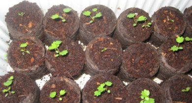 как посадить землянику из семян в домашних условиях