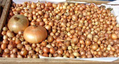посадка лука севка в открытый грунт в сибири