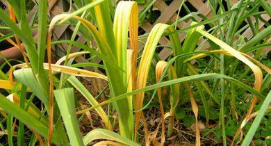 почему желтеет чеснок весной что делать народные средства