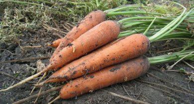посадка моркови в ячейки из под яиц видео польза и вред