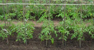 Poliv-pomidorov-v-otkrytom-grunte-1024x768